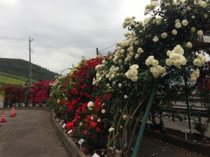 Roses around the fences