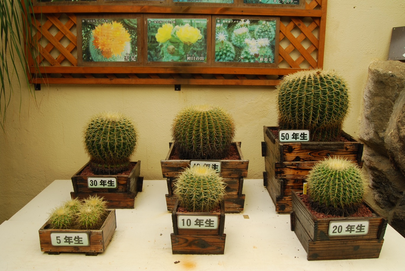 Young and Old Cacti in Izu Cactus Park